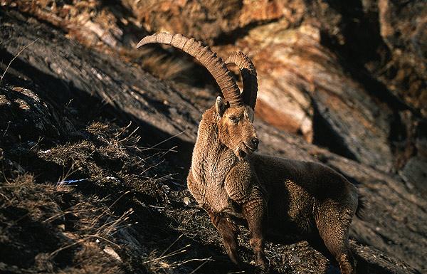 Evening ibex