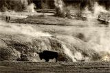 Bison in Landscape