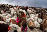 Lamas - Peru