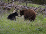 Mum and baby Black Bears playing in the Lammar Valley