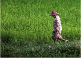 Paddy Fields - Myanmar