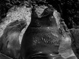 Sea Lions Peru