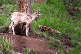 The female Big Horn Sheep and the Yellowstone Fox