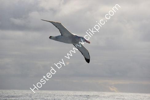 Wandering Albatross in the Drake Passage