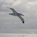 Wandering Albatross in the Drake Passage