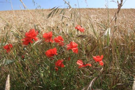 Poppies on Cotley Hill,Heytesbury