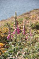 Foxgloves on Pembrokeshire Coast