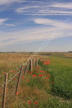 Poppies, near Warminster,Wiltshire