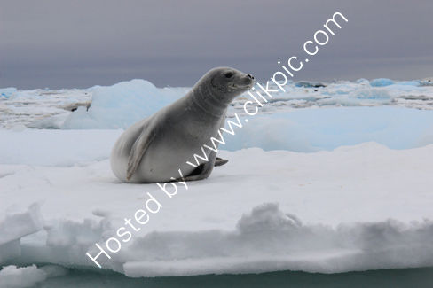 Crabeater Seal on Ice Floe