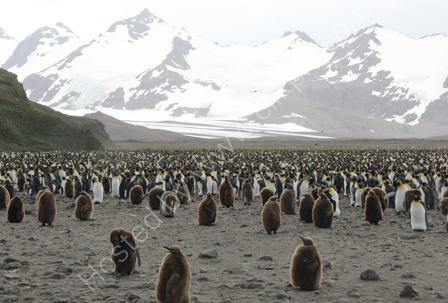 King Penguins on Salisbury Plain