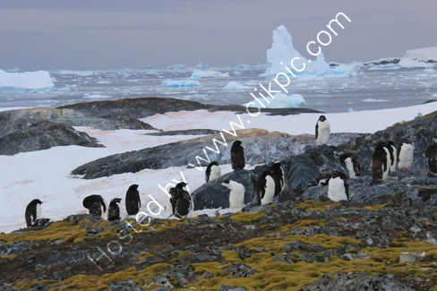 Adelie Penguins, Lichen and Ice
