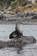 Adult Fur Seal