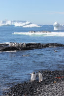 Adelie penguins at Brown Bluff