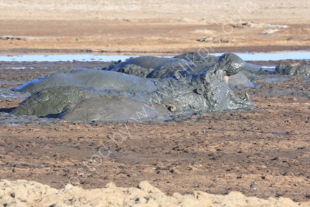 Hippos Wallowing in Mud