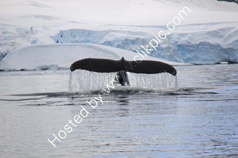 Humpback Whale, Paradise Harbour