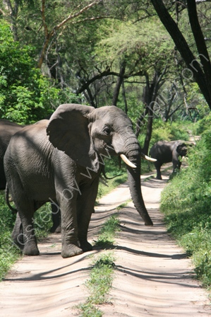 Bull Elephant on Road
