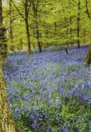 Bluebells near Wilton, Wilts