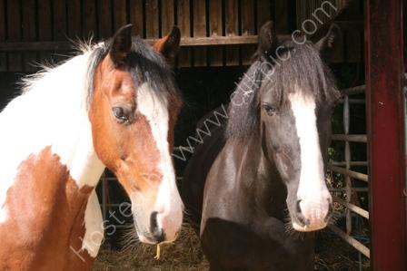 Wellow RDA Ponies