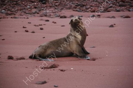 Sealion on Beach