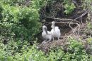 Pelican Chicks