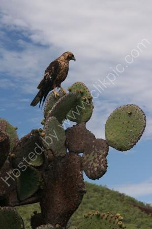 Galapagos Hawk, Genovesa Is