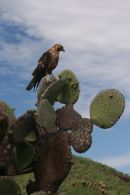 Galapagos Hawk, Genovesa Is
