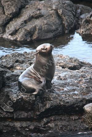 Fur Seal, Santiago Is, The Galapagos