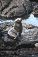 Fur Seal, Santiago Is, The Galapagos