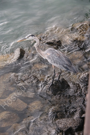 Grey Heron on Rocks