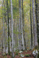 Silver Birch trees in Autumn