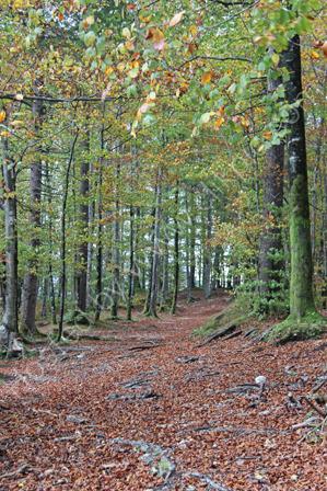 Beechwoods near Lake Bohine