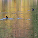 Ducks on Lake Jasna with Reflections