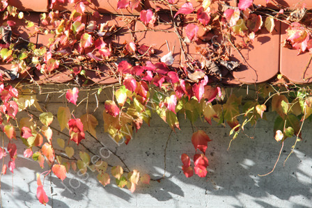 Ivy on a Wall in Autumn