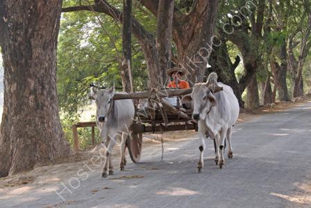 Bullock Cart at Inwa