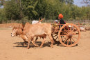 Pa-O woman driving a bullock cart