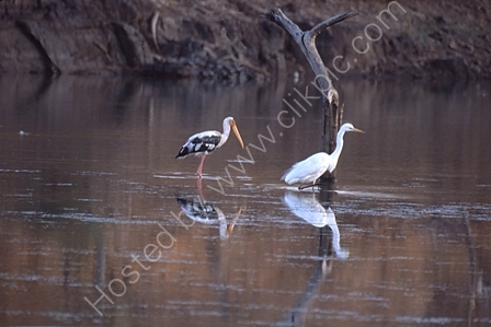 Painted Stork and Egret in India