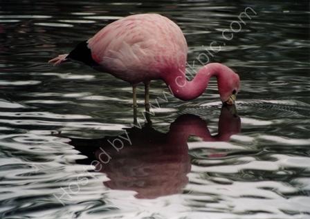 South American Flamingo