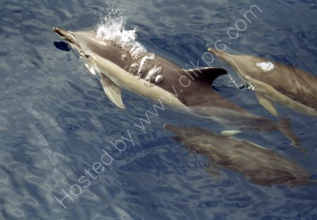 Common Dolphins,off Pico,Azores