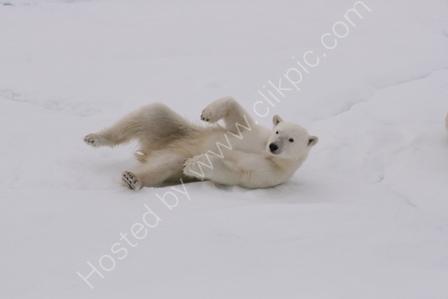 Juvenile Polar Bear