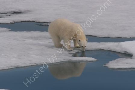 Polar Bear Sipping Melt Water