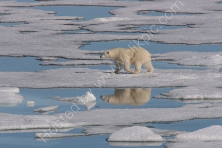Polar Bear Hunting on Ice