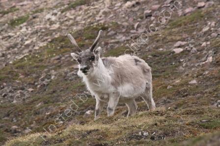 Svalbard Reindeer