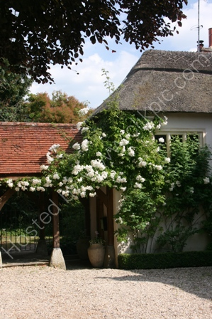 Roses and Thatch