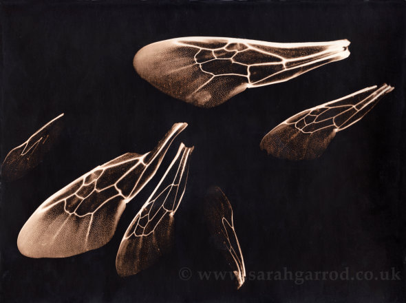 "Lith print ""The Last Bees"" made from real bees wings instead of a negative"