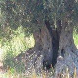 Basilicata olive tree