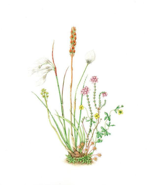 Bog plants- River Dart Series