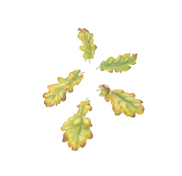Oak leaf swirl