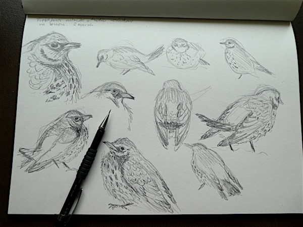 Fieldfare sketches