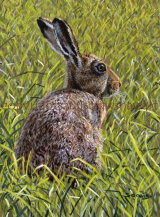 Watchful (Brown Hare)