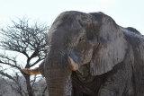 Solitary Bull, Etosha NP